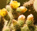 Cactus Flowers at SC Botanical Gardens, Palos Verdes - Mike Hope