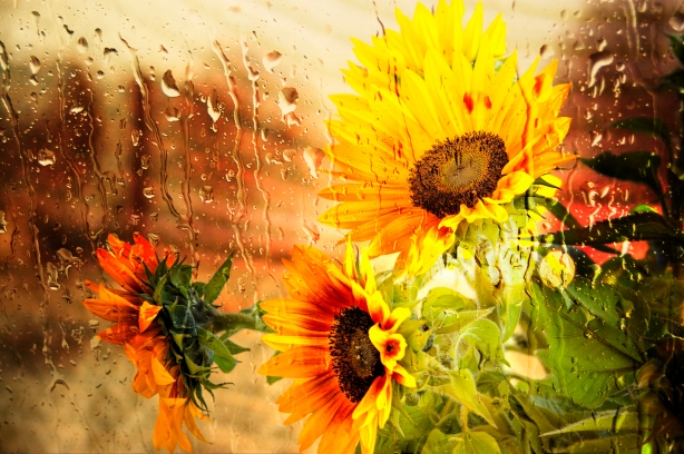 Wet Sunflower by Mike-Hope